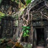 Merci temple de Prohm avec le banian géant au coucher du soleil Angkor Wat, Cambodge Images libres de droits