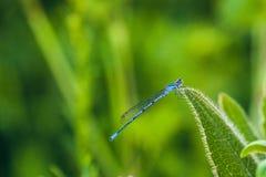 Mercuriale Coenagrion Anamorphic голубой стрелки dragonfly южное Стоковая Фотография RF