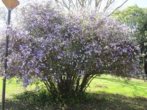 Manaca tree. Mercury, romeo and juliet, morning noon and night, day-noon-night, yesterday-today-and-tomorrow, royal purple brunfelsia, tree, bella union, lady of Stock Image