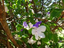 Manaca branches. Mercury, romeo and juliet, morning noon and night, day-noon-night, yesterday-today-and-tomorrow, royal purple brunfelsia, tree, bella union Royalty Free Stock Photo