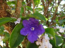 Manaca flowers. Mercury, romeo and juliet, morning noon and night, day-noon-night, yesterday-today-and-tomorrow, royal purple brunfelsia, tree, bella union, lady Stock Images