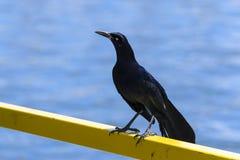 Merel die zich lang op een geel spoor dichtbij meer bevinden Royalty-vrije Stock Fotografie