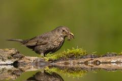 Merel, Eurasian Blackbird, Turdus merula stock photography