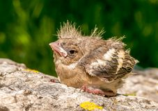 Merelkuiken uit het nest in de tuin Royalty-vrije Stock Afbeelding