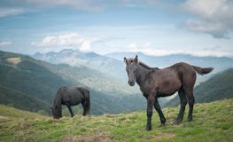 Free Merens Horses Royalty Free Stock Photography - 159675107
