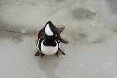 merganser утки с капюшоном Стоковые Изображения RF