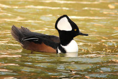 Merganser With Crest Raised. A male Hooded Merganser with its crest raised during spring in Vermont Royalty Free Stock Photo