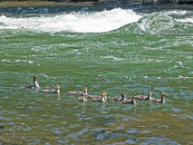 Merganser Family Royalty Free Stock Image