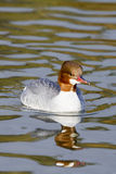 Merganser ( Mergus mergans ) Royalty Free Stock Photography