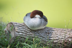 Merganser resting on log Royalty Free Stock Images