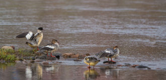 Mergansers at the Nemunas river Royalty Free Stock Image