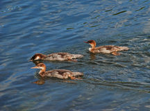 Mergansers on Patrol Royalty Free Stock Photography