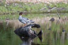 Merganso comum Hen Swimming em uma lagoa imagem de stock royalty free
