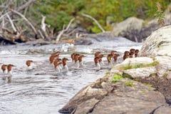 Mergansos comuns que nadam em um rio da região selvagem Foto de Stock Royalty Free