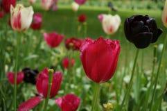 Merge of tulips Royalty Free Stock Photos