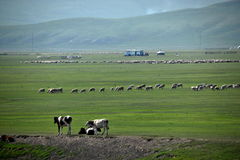 Mergel Golden Horde Khan Mongol tribes riverside grassland sheep, horses, cattle Royalty Free Stock Photography