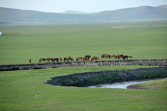 Mergel Golden Horde Khan Mongol tribes riverside grassland sheep, horses, cattle. Inner Mongolia Hulunbeier China's first Qushui mergel River Golden Horde Khan Stock Image