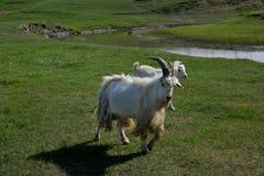 Mergel Riverside Golden Horde Khan Mongolian steppe tribes flock Royalty Free Stock Image