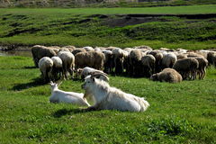 Mergel Riverside Golden Horde Khan Mongolian steppe tribes flock Royalty Free Stock Photos