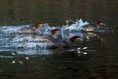 Merghi comuni che vanno dopo il salto del pesce (mergo) del Mergus, O Immagine Stock