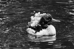 Mergo cinese parteggiato squamoso Duck Male Seattle Washiington del mergo immagine stock libera da diritti