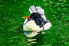 Mergo cinese parteggiato squamoso Duck Male Seattle Washiington del mergo fotografia stock libera da diritti