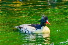 Mergo cinese parteggiato squamoso Duck Male Seattle Washington del mergo immagini stock