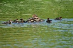 Mergo incappucciato di nuoto Hen And Ducklings Fotografie Stock Libere da Diritti