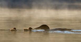 Mergulhão-do-norte comum que alimenta dois pintainhos imagens de stock royalty free