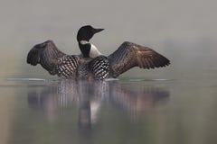 Mergulhão-do-norte comum que aumenta fora da água Fotos de Stock Royalty Free