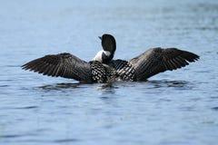 Mergulhão-do-norte comum Wing Stretch Imagens de Stock Royalty Free