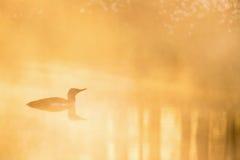 Mergulhão-do-norte throated vermelho na luz do alvorecer Imagens de Stock Royalty Free