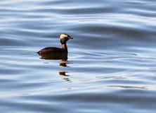 Mergulhão Horned que flutua na água Imagem de Stock