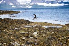 Mergulhão preto em voo, ilha de Vigur, Islândia Fotografia de Stock