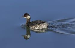 mergulhão Preto-necked - nigricollis do Podiceps Foto de Stock Royalty Free