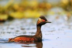 mergulhão Preto-necked (nigricollis do Podiceps) Imagem de Stock