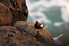 Mergulhão preto, tystie, grylle do cepphus, Faroe Island, Europa Foto de Stock