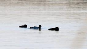 Mergulh?es-do-norte comuns, immer do gavia, p?ssaros de estado de Minneaota que nadam em um lago em Bemidji filme