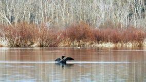 Mergulh?o-do-norte comum, immer do gavia, p?ssaro de estado de Minneaota que eleva acima e que bate suas asas em um lago em Bemid filme