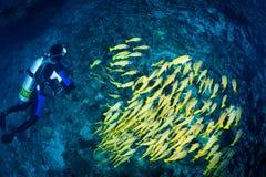 Mergulhador & escola de carangas listradas azuis, Maldives Fotografia de Stock Royalty Free