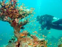 Mergulhador com coral do ventilador Imagem de Stock Royalty Free