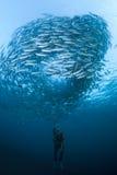 Mergulhador com uma escola dos jaques Fotografia de Stock Royalty Free