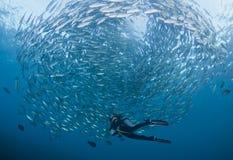 Mergulhador com uma escola dos jaques Foto de Stock Royalty Free