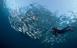 Mergulhador com uma escola dos jaques Fotografia de Stock