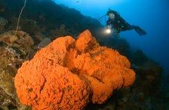 Mergulhador da mulher que aponta a luz no coral do Cararibe Fotografia de Stock
