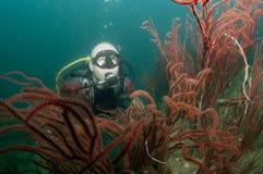 Mergulhador do mergulhador com coral vermelho fotos de stock royalty free
