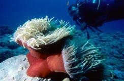 Mergulhador e Anemone foto de stock