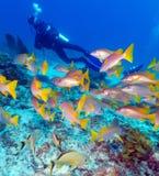 Mergulhador e escola das carangas, Cuba imagens de stock royalty free