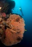Mergulhador e Gorgone Indonésia coral Sulawesi fotografia de stock