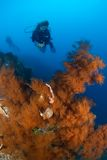 Mergulhador e Indonésia coral Sulawesi fotografia de stock royalty free